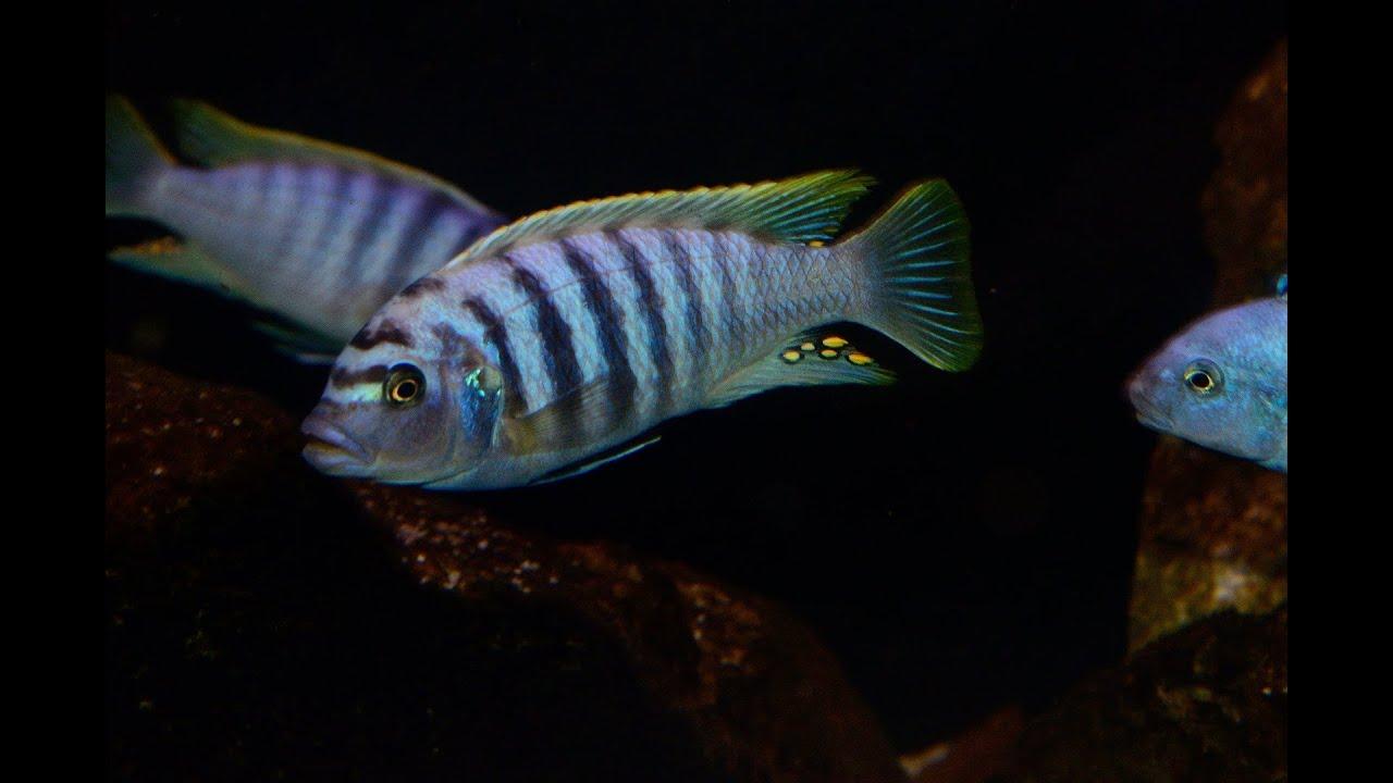 Ep 21 Malawi Membe Reef Cichlid Paradise 7 Months