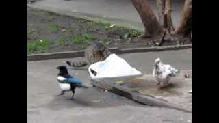 Сорока против кота