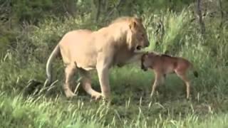 Download Video Singa menyelamatkan anak sapi MP3 3GP MP4