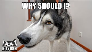 Words My Husky Knows But Choose To Ignore! Boops Me In The Eye!