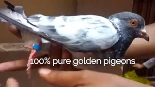 How to pair up Pigeons for breeding - k jora kaise lagae -by Raja Farhan golden kamager Cross