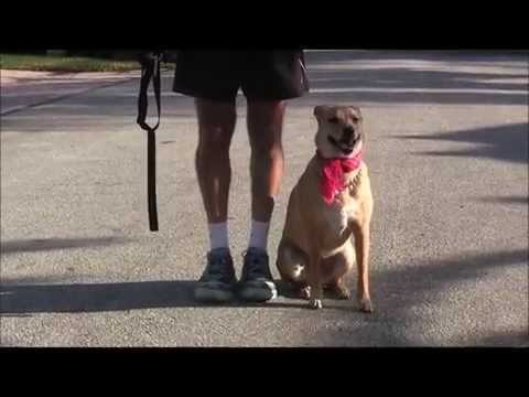 How to teach a dog to automatically sit