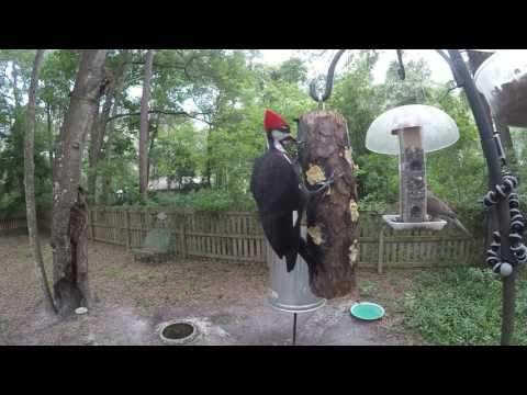 Pileated Woodpecker pair eating Bark Butter® June 9, 2017