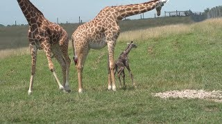 Watch Newborn Giraffe Adorably Fall While Taking First Steps