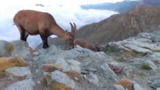 Ibex meeting in the Italian Alps