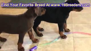 Doberman Pinscher, Puppies, For, Sale, In, Boise City, Idaho, Id, Rexburg, Post Falls, Lewiston, Twi