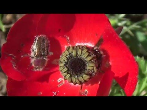חיפושית גלפירית - פרחית הפרג (Eulasia papaveris)