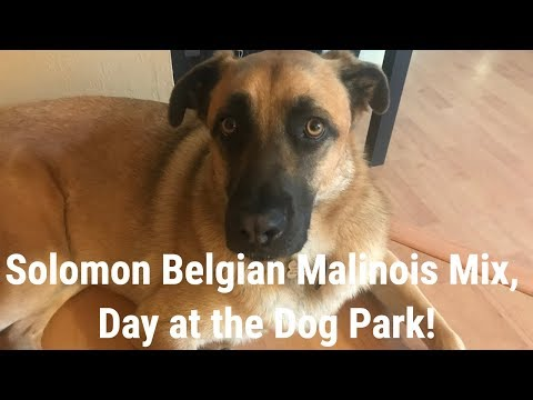 Solomon Belgian Malinois Mix Day at the Dog Park!