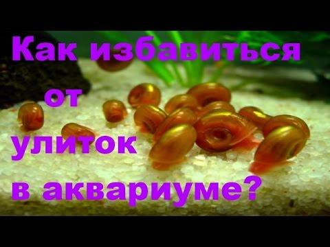 Как выловить улиток из аквариума