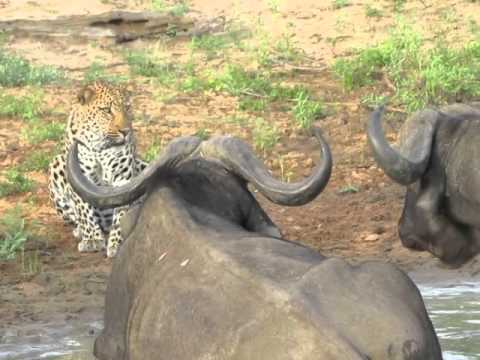 Brave leopard saying hello to a buffalo
