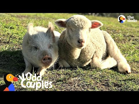 Blind Lamb Follows His Pig Best Friend Everywhere | The Dodo Odd Couples