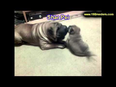 Shar Pei, Puppies, For, Sale, In, Philadelphia, Pennsylvania, PA, Borough, State, Erie, York