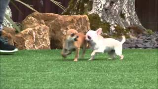 Chihuahua Male for sale 30th April 2016