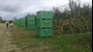 Как работают чеченцы во Франции (сбор яблок )