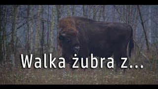 Walka żubra w Puszczy Białowieskiej