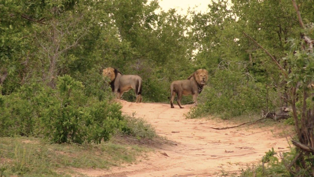 An episode in lion warfare