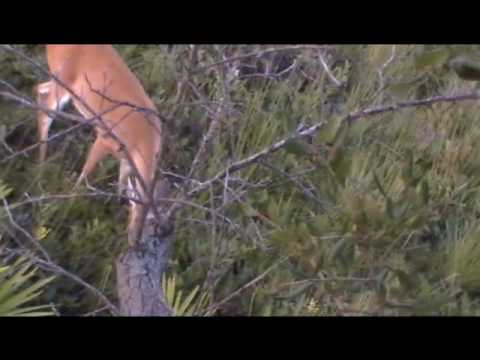 Florida deer in the Three Lakes Wildlife Management Area