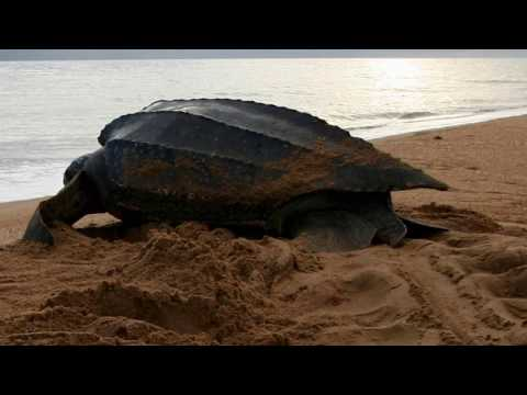 leatherback sea turtle ,luth, largest of all living turtles, heavy reptile