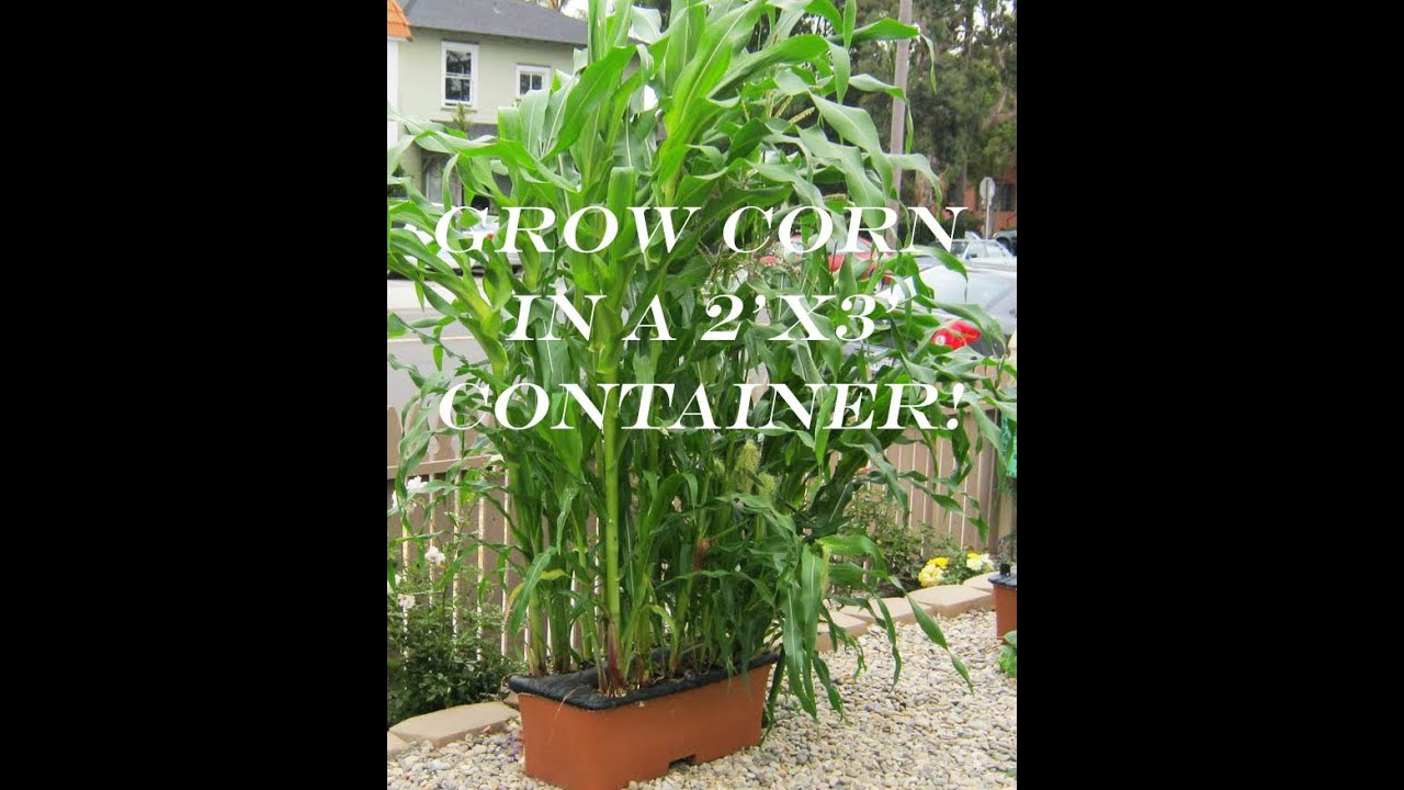 How To Grow Corn In A Container!