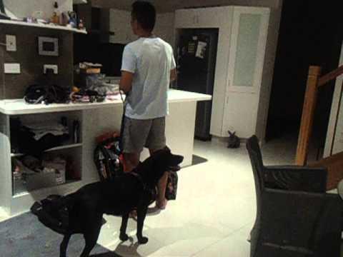 labrador-dog-excited-for-her-walk