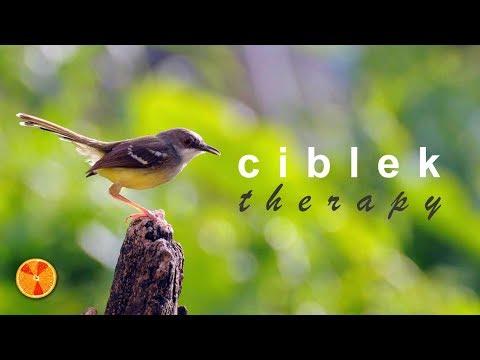 Download Lagu CIBLEK THERAPY | pancingan, terapi, dan isian untuk burung kicau