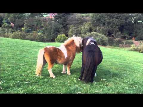 Miniature Shetland Stallions