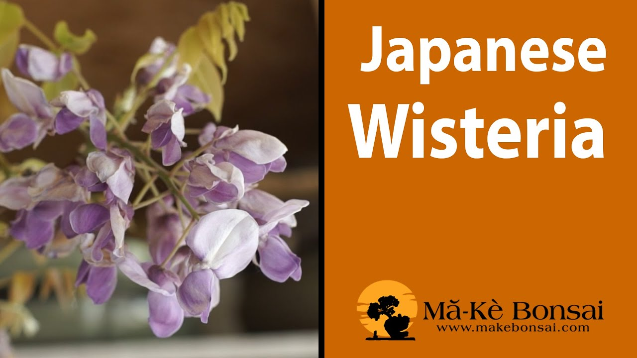 114 Japanese Wisteria Bonsai Tree Care Youtube