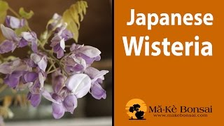 114) Japanese Wisteria Bonsai Tree Care