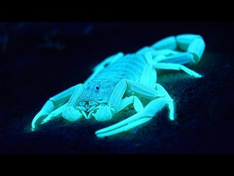 Image result for bioluminescent Scorpions
