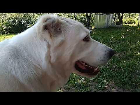 Мокнущая экзема у собаки. Алабай 1 год и 8 мес. Девочка.