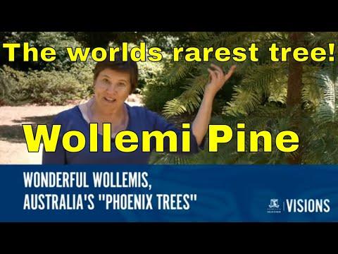 Trees: Wollemi Pine (Wollemia nobilis) Worlds Rarest Tree.
