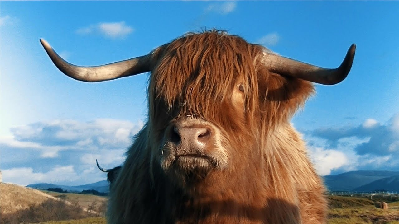 Highland Cattle - Scottish Highlands. - YouTube