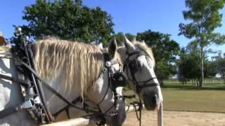 Harnessing the Percheron Horses:Leahton Park Texas Longhorn Wagon Tours
