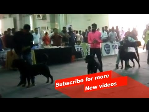 Wow ! Most Amazing dog breeds | Bangalore championship dog Show | Rottweiler |