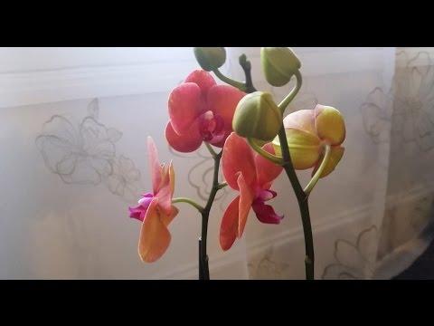 Еще одна моя новая персиковая орхидея / My new peach orchid