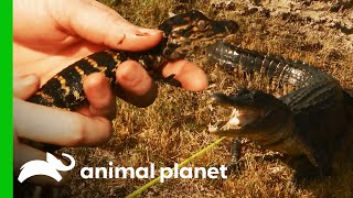 Baby Gator Is Used To Lure Out Mother | Lone Star Law