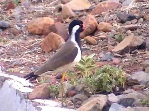Attack on the Dog by Red Wattled Lapwing ,Struggle for Protection for Child टिटवी