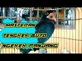 Tengkek Buto Gacor Ngekek Panjang Cocok Buat Masteran  Mp3 - Mp4 Download