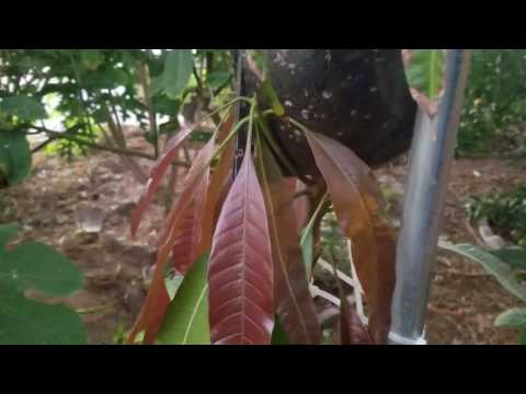 Air layering a mango tree! Didn't expect this to happen!