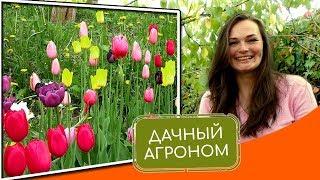Тюльпаны: КАК ПОСАДИТЬ ОСЕНЬЮ. Топ-5 советов от Дачного Агронома. #дачныйагроном