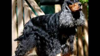 "Birchen Bishdariel "" Dariel "" - English Cocker Spaniels -"