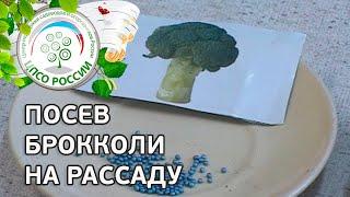 Посев брокколи на рассаду. Выращивание брокколи.(В этом видео - практические советы о том, как правильно провести посев семян брокколи на рассаду. Как пригот..., 2016-03-23T10:35:50.000Z)