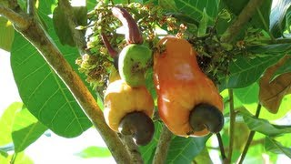 Cashew Tree in Costa Rica - Raw Cashew Fruits and Cashew Apples