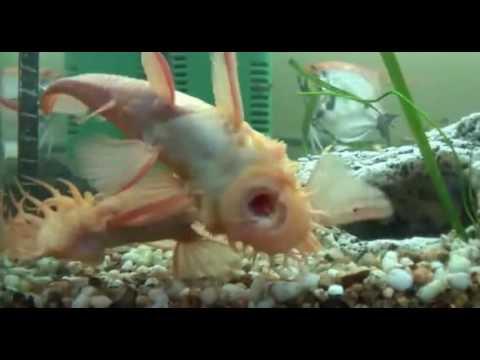 Аквариум.  Сомики анциструсы содержание, уход, размножение. Aquarium. Catfish ancistrus