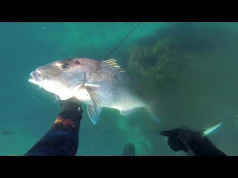 Spearfishing Coromandel, BOI and East Coast. NZ