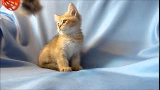 Британские котята золотого окраса.