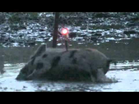 Texas free range hogs with a Mathews Single Cam Bow youth hunt HOG DROPPED POV
