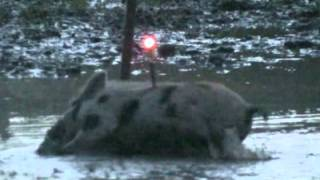 Texas free range hogs with a Mathews Single Cam Bow youth hunt HOG DROPPED