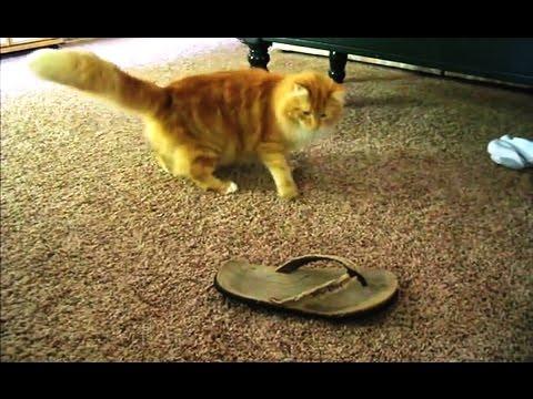 'Cats vs. Flip Flops Compilation - PART 2' || CFS
