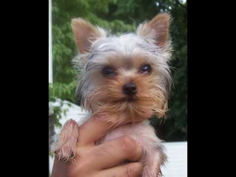 yorkshire terrier for adoption yorkshire terrier rescue puppy youtube 7322